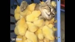 A cat sleeps with A chicks in a cage
