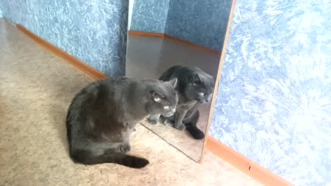 Gray animal found brother in reflection