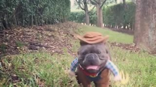 French Bulldog rocks hilarious cowboy outfit - Video