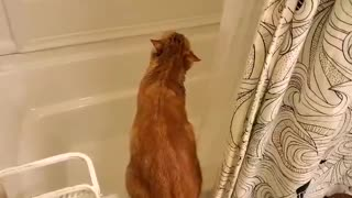 Crazy cat tries to drink from the shower