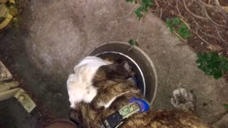 This Bulldog Really Likes Her Food - Video