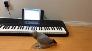 Talented parrot sings and plays 'Happy Birthday' song on piano