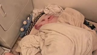 Pickle the Mini Pig preciously enjoys a nap - will make you tired! - Video
