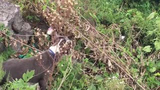 Tan dog going inside bush outside  - Video