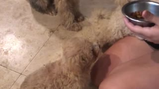 Dog wants to high five for treat food over two other dogs knocks over bowl