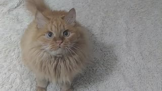 Cat's Next's favorite toy - IS.....))) - looking video !!!