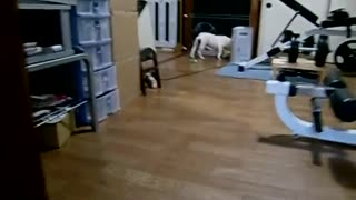 french bulldog or happy feet crazy dance in the door  - Video