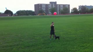Boston Terrier juega con un globo como un experto - Video