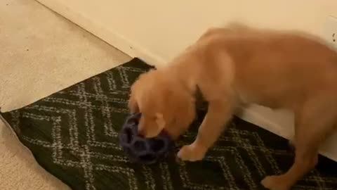 Cute golden retriever puppy playing with new toy