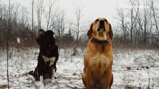 Tan and black dog sit in the falling snow  - Video