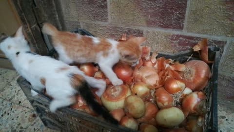 Kitties play Onion Stand game