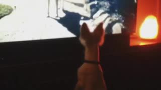 Dog thinks tv is real - Video