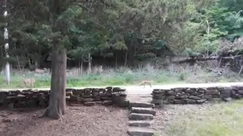 Herd of deer chase off intruding fox