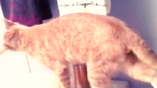 Collab copyright protection - orange white cat toliet fall