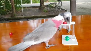 Parrot Pals Play Basketball Together - Video