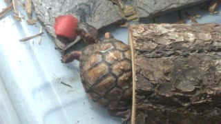 Turtle Tries Watermelon - Video