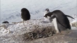 Frozen Planet: Criminal Penguins