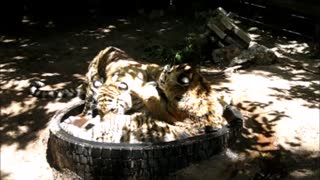 Siberian Tiger cubs enjoy playtime together - Video