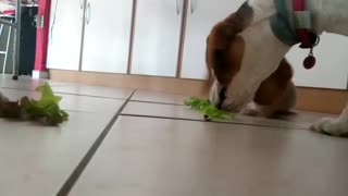 Adorable Beagle tries to steal lettuce from Rabbits