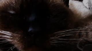 A terrible Siamese cat and mouse - Video