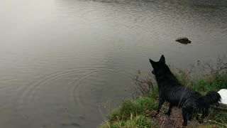 black dog jumping into the river
