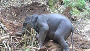 Adorable baby elephant enjoying playtime - Video