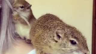 Baby squirrel grooms her owner's hair - Video