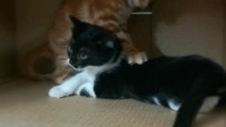 Male Cat Plays With Kitty WWE Match