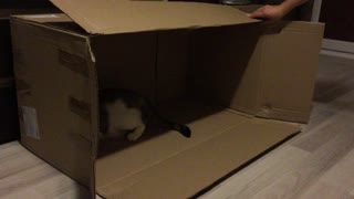 Cute kitties playing in a carboard box  - Video