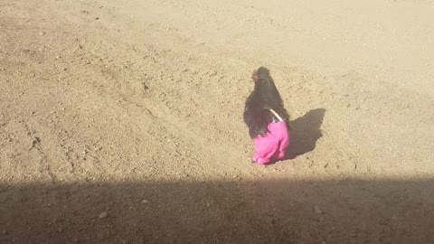 Chicken runs around wearing pink pants. Adorable!