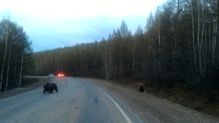 Bears on Russian Highway - Video