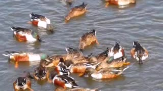 Hunting by the wild ducks