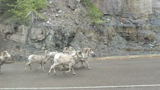 Sharing the Road with Sheep