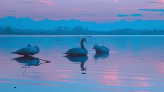 Swans and sunset on a fun stroll in the lake of the jungle