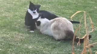 Two Cats FIght - Video