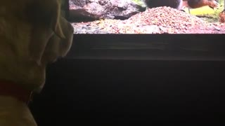 Dog stares at tv squirrel