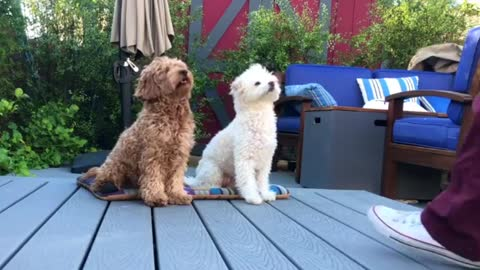Talented poodle duo love training together