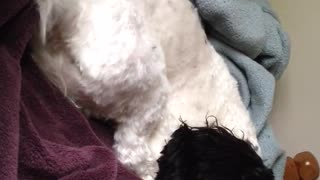 White dog wagging tail while laying down  - Video