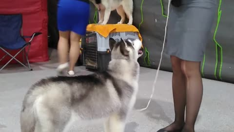 Husky puppy training for the exhibition
