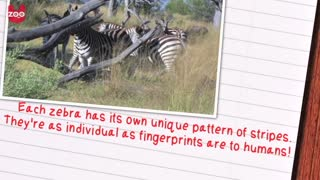 Awesome Zebra Facts - Video