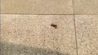 Killer bee kills and eats grasshopper