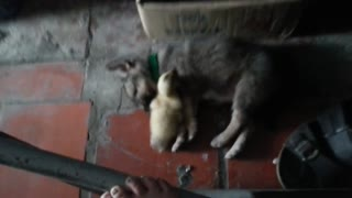 Puppy meets a duckling for the first time - Video