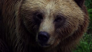 Brown (bear)