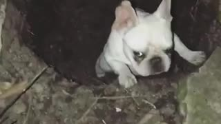 White french bull dog stuck in hole - Video
