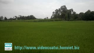 Rice field in the Mekong Delta - South Vietnam  - Video