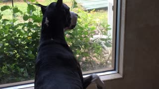 Great Dane and squirrel come face to face - Video