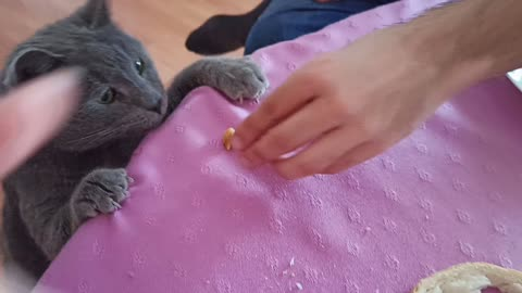 Chubby cat takes food off the table