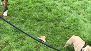 Small pug leads horse on leash