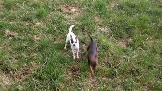 chihuahua dog puppies aggressive attack bark - Video