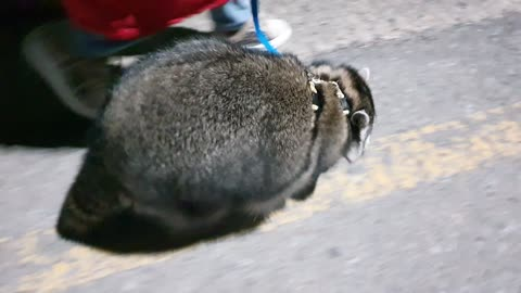 Raccoon takes a health walk every night to lose weight.